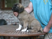 Anakin Kangal From Czech Heart
